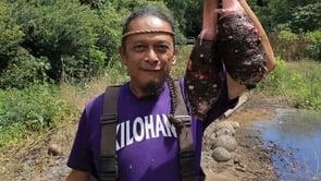 Taro Growing at Kahua o Kaneiolouma